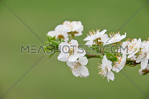 Close up white cherry tree blossom over green background, low angle view