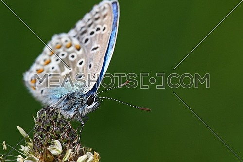 Tiny blue butterfly against a blurred green background