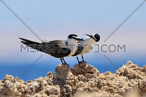 two black and white birds on a rock by the sea
