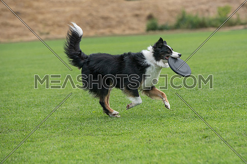 Purebred Border collie dog catching frisbee in jump