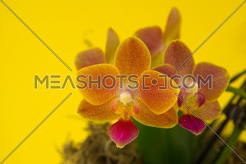 Flower beautiful pink orchid - phalaenopsis against yellow background