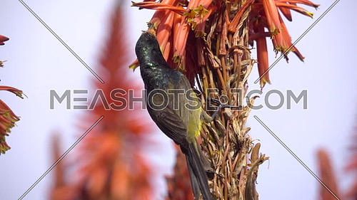 View of sunbird eating nectar from red aloe