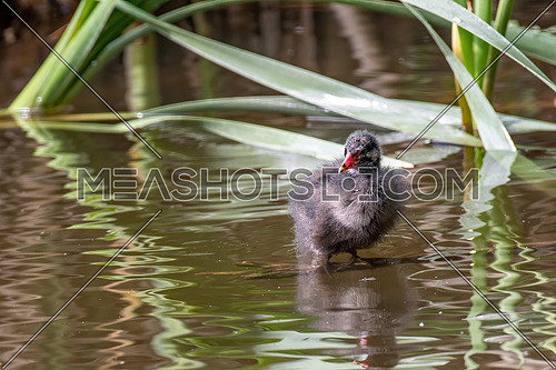 Eurasian common moorhen (Gallinula chloropus) also known as marsh hen and swamp chicken
