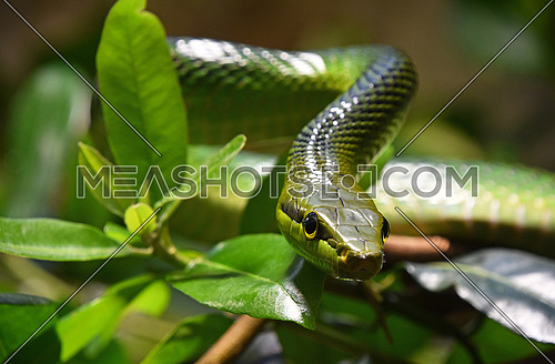 Close up Gonyosoma oxycephalum, known commonly as the arboreal ratsnake, the red tailed green ratsnake in tree leaves, low angle, front view