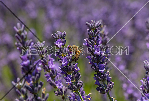 Close up honey bee on purple blooming lavender flowers, low angle side view