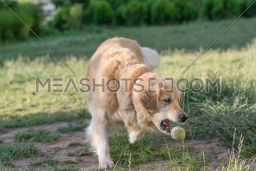 Golden retriever running  Selective focus on the dog