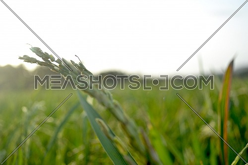 Rice Grains With Stalks In The Morning In Blurred Portrait