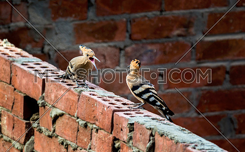 2 hoopoe fighting on a brick wall