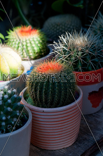 colorful cacti cactus plants on little pots on shadow with sunlight ray