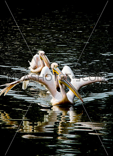 three pelicans in a line