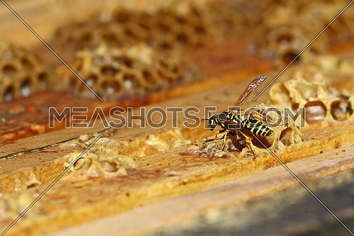 Wasp crawling in a beehive