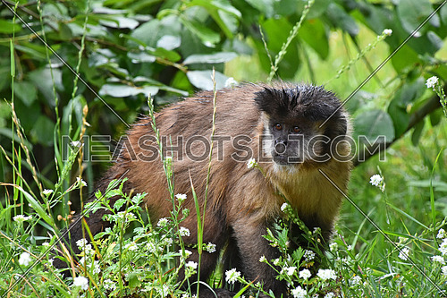 Brown (or tufted) capuchin monkey (Cebus apella) male in green grass, looking aside