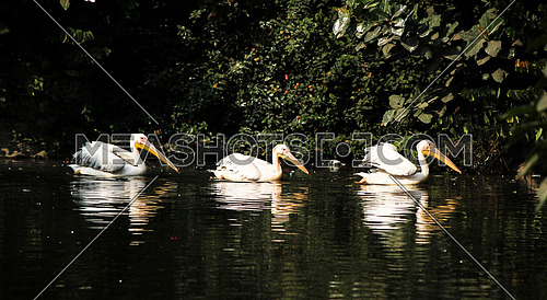 Pelicans swimming in a row