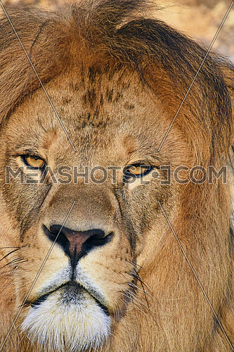 Close up portrait of mature male African lion with beautiful mane, looking at camera