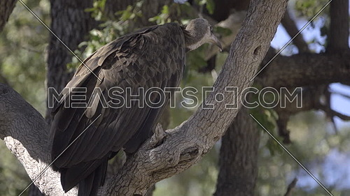 Scene of a Hooded Vulture turned away from the camera