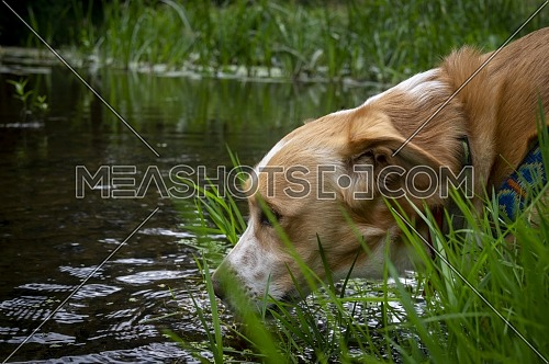 Cute dog drinking water from a pond or lake stretching its head down through the surrounding green plants in a close up profile portrait
