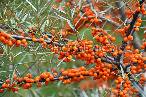 Close up branch of ripe vivid orange autumn Hippophae (sea buckthorn) with green leaves and thorns