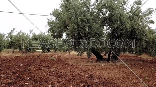 Field of Olive trees near Jaen, soft camera movement in 4k