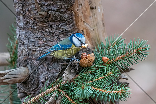 Blue tit (Parus caeruleus)sitting on a tree trunk with a nut in its beak