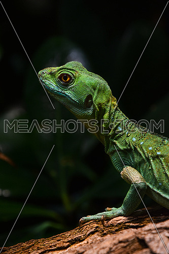 Close up profile portrait of vivid green lizard, high angle, side view
