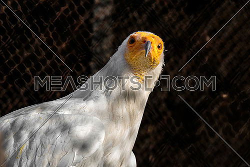 Close-up portrait of Egyptian vulture (Neophron percnopterus)