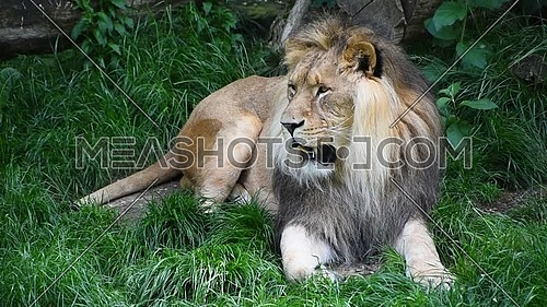 Close up portrait of one male lion breathing with mouth open and looking at camera and away over background of green grass, high angle view