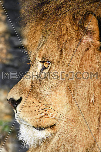 Extreme close up side profile portrait of mature male African lion with beautiful mane, looking away