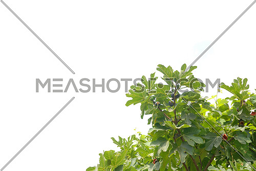 Fig Branch isolated on white
