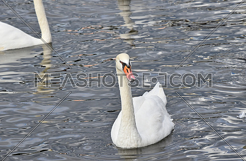 Close up group of several beautiful white swans swim, float and row in water with waves and ripples, high angle view