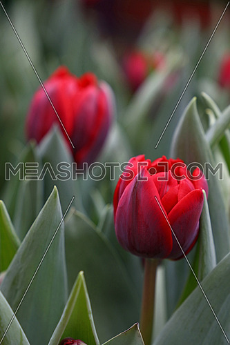 Dark red fresh springtime tulip flowers with green leaves growing in field, close up, high angle view