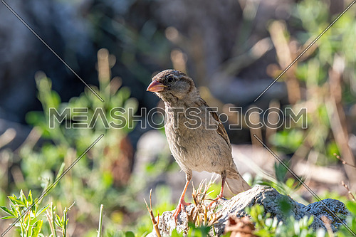 House Sparrow Passer domesticus in natural background