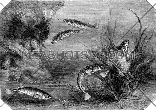 The stickleback and its nest, vintage engraved illustration. Magasin Pittoresque 1870.