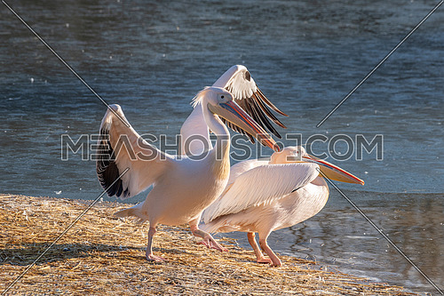 Pink Pelican (Pelecanus onocrotalus) in the wild.Disappearing species of feathered animals