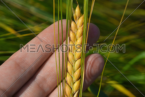 Close up woman hand holding and checking wheat ear ripeness and maturity before harvesting grain