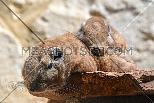 Close up portrait of family of two Gundi comb rats, African rodents, laying down together relaxed on stone and looking at camera, low angle view