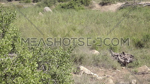 Scene of a group of feeding vultures (wake) tearing up an Impala