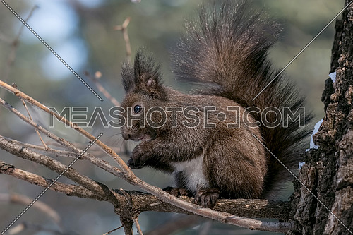 Eastern gray squirrel (Sciurus carolinensis) eating on tree trunk. Selective focus