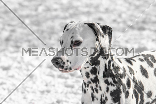 Adorable  Dalmatian dog outdoors in winter