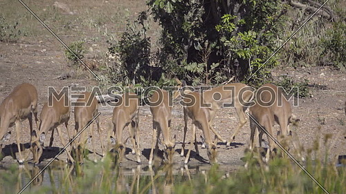 View of a large group of Impala drinking
