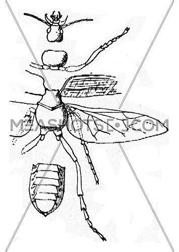 Constituent parts of the body of an insect, vintage engraved illustration.