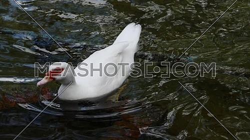 Duck swimming in a pond of clear water in spring, Spain