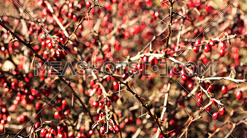 Berries in the bush with thorns on their branches
