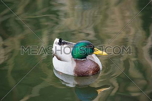 Mallard Ducks. Close-up of a Mallard Duck (Anatidae) at the lake.Animals in the wild