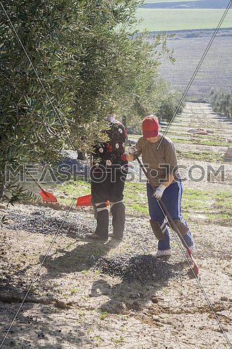 Jaen, Spain - yanuary 2008, 23: Farmer during the campaign of olive in a field of olive trees, farmer accumulating olives with a rake, take in Jaen, Spain