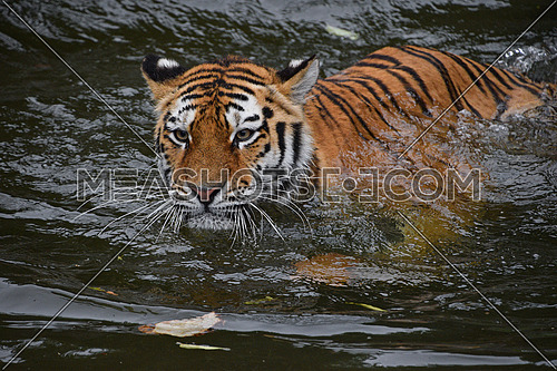 Close up portrait of young Siberian tiger female (Amur tiger, Panthera tigris altaica) swimming in water and looking at camera, high angle front view