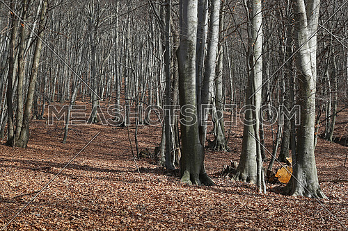 Beech tree forest in the winter with a carpet of foliage on the ground