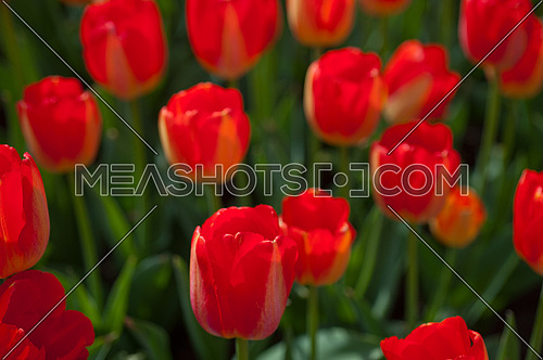 colorful tulips flowers field in springtime with low sun
