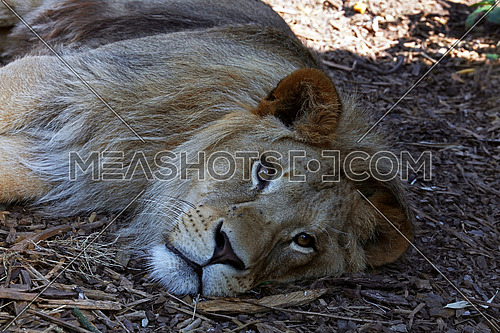 Portrait of young cute male African lion laying resting on the ground and looking at camera, high angle view