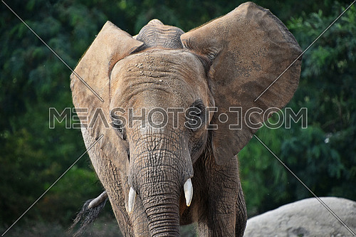 Close up portrait of young African elephant female looking at camera over background of green trees, low angle front view
