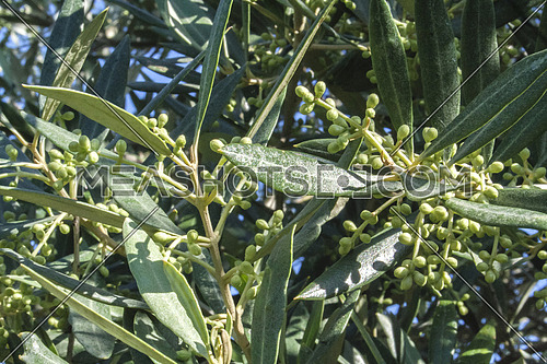 Branch of small olive growing